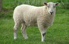 Sheephuman