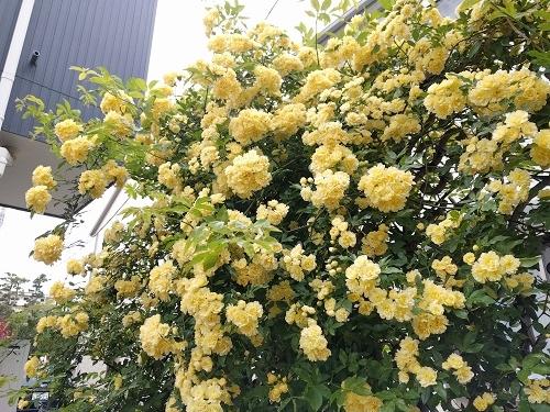 明るい黄色のモッコウバラをドライに