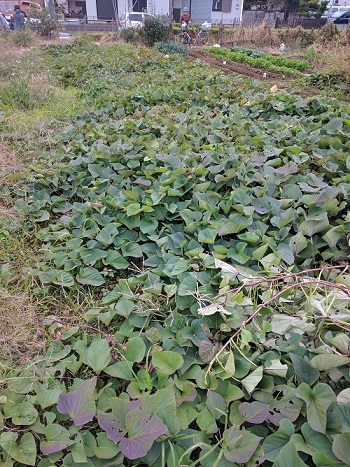 イモ掘り準備と今年の収穫