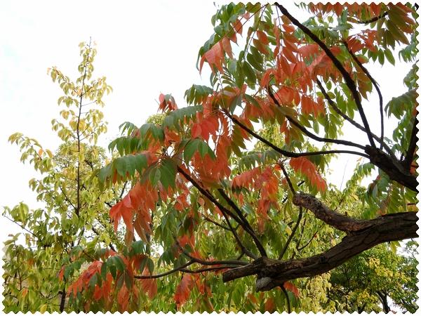 ハゼの木2