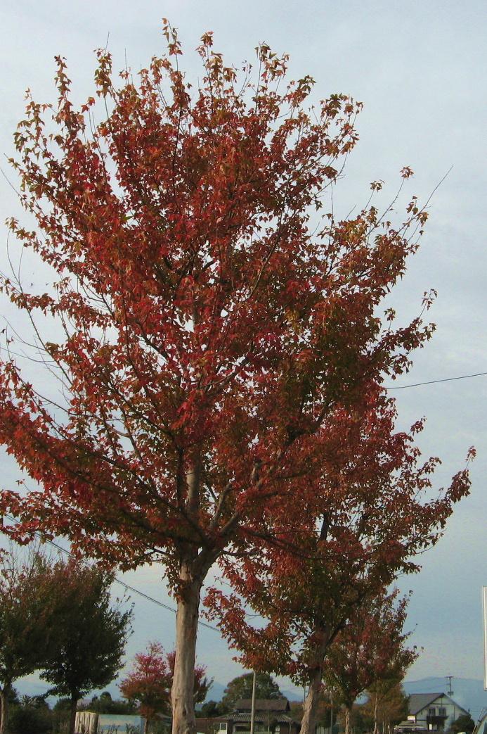 プラタナスの紅葉