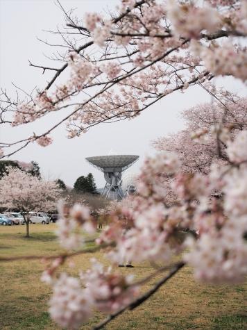 さくら宇宙公園の桜