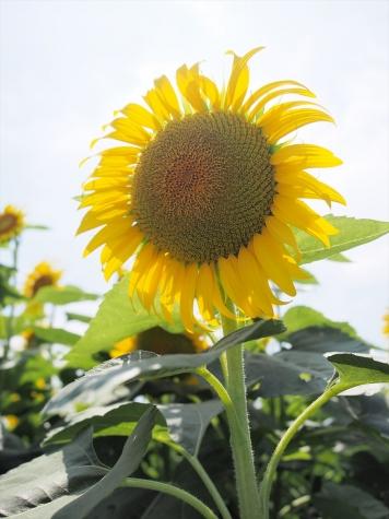熊谷・葛和田のヒマワリ農園