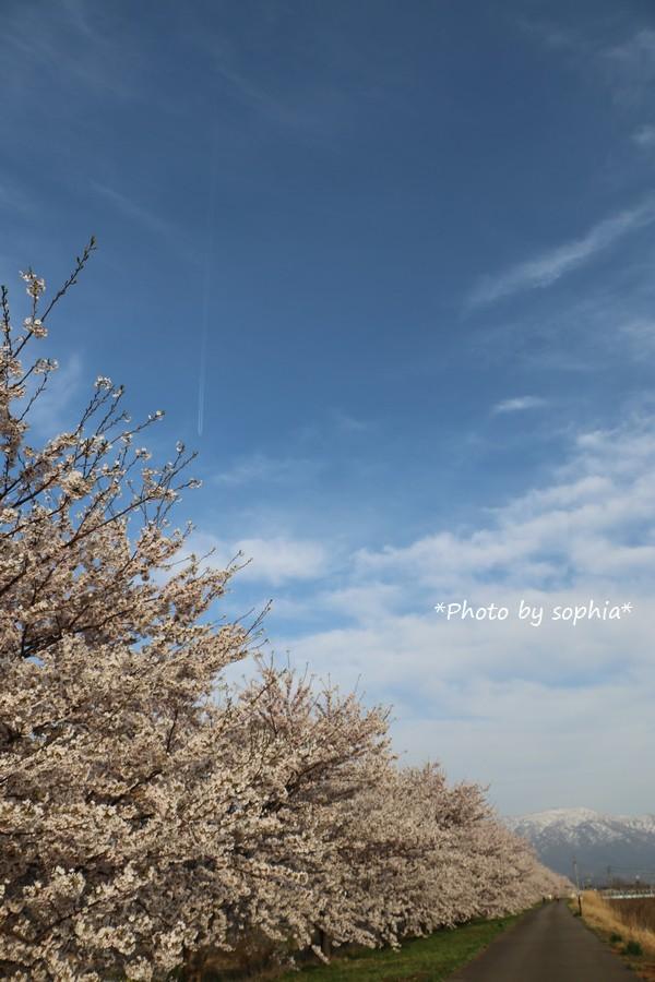 雪山と桜のある光景