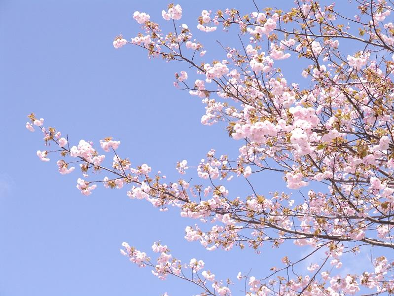 桜 その3