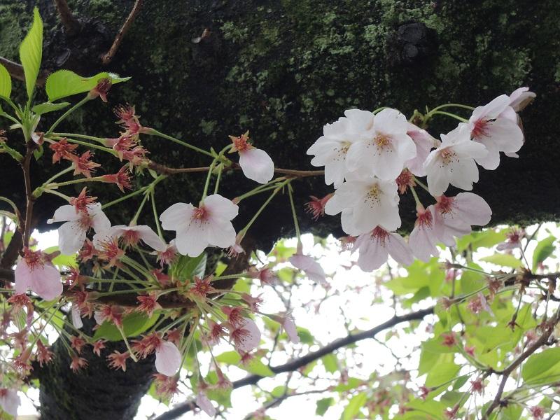 桜の花と葉っぱの競演
