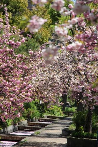 ご近所八重桜