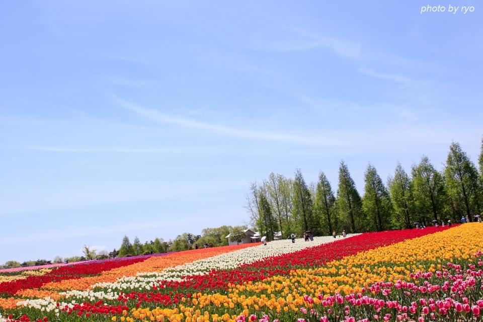 世羅高原農場 晴れの日のチューリップ_1