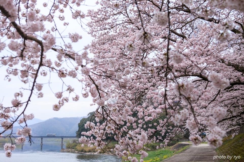 三江線 江の川河土手の桜と共に
