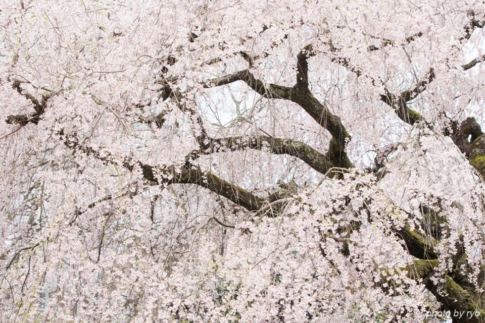 蓮照寺のしだれ桜 2016_1