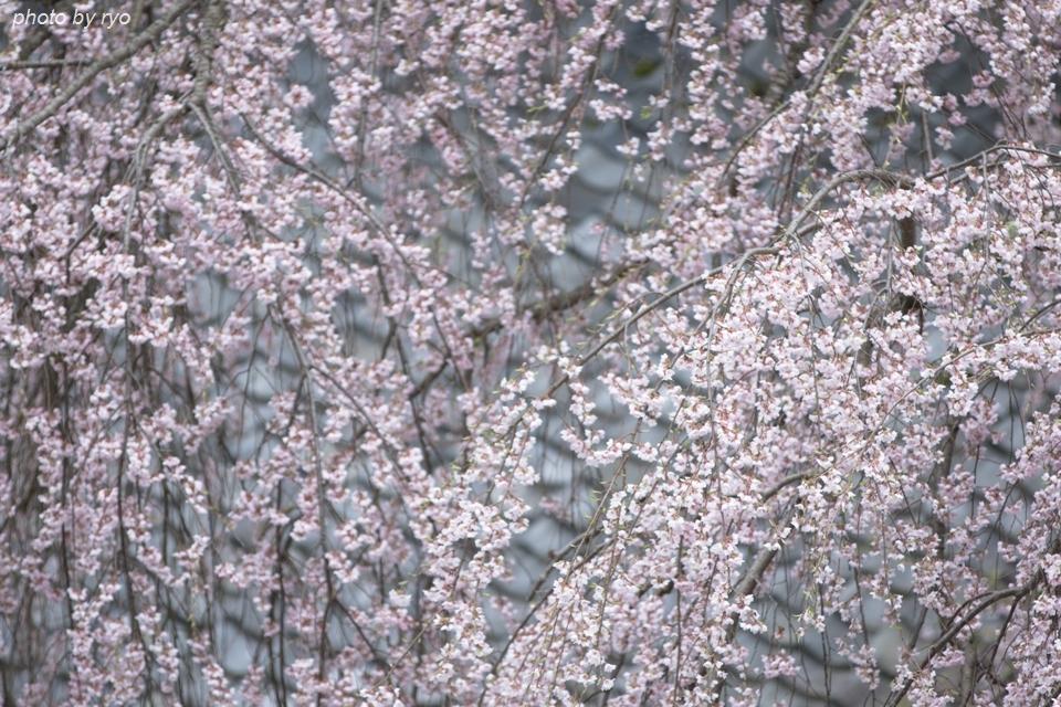 蓮照寺のしだれ桜 2016_3