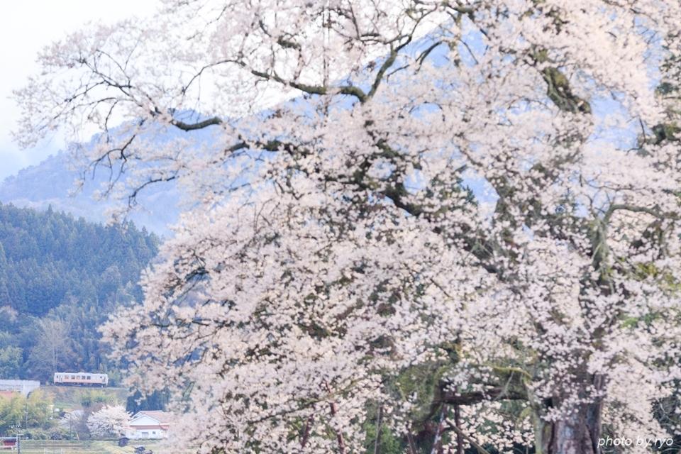要害桜と芸備線