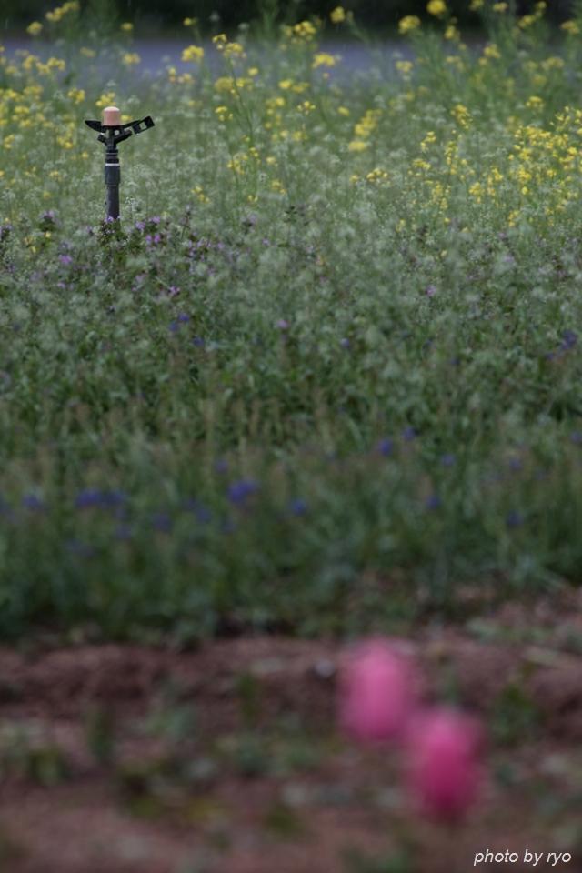 世羅高原農場 雨の日のチューリップ_6