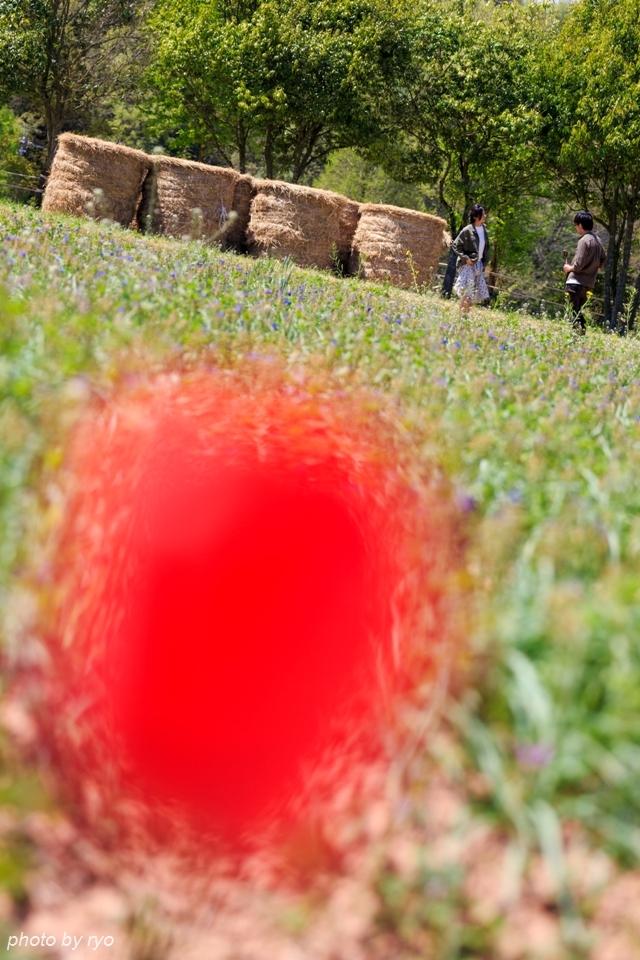 世羅高原農場 晴れの日のチューリップ_7