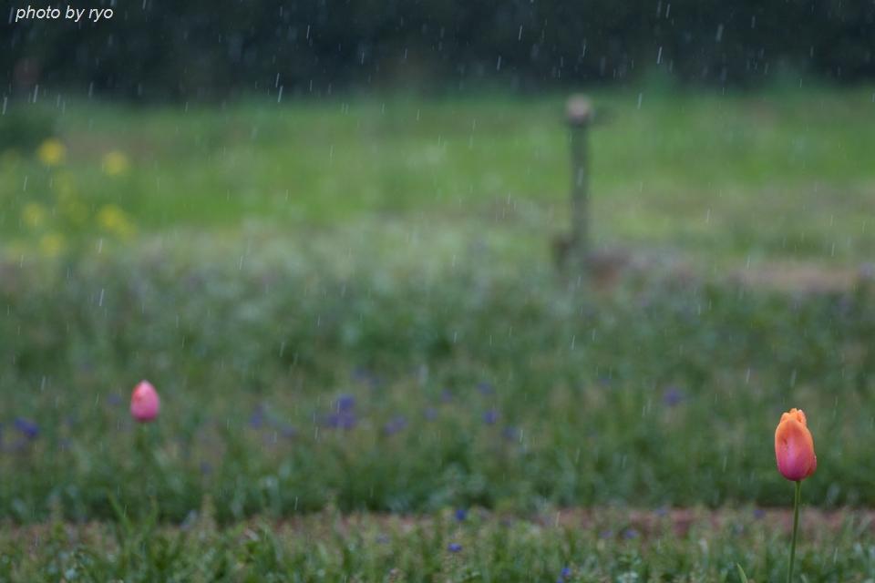 世羅高原農場 雨の日のチューリップ_7