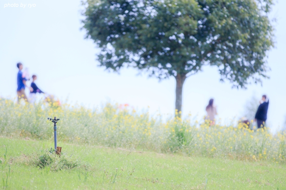 世羅高原農場 晴れの日のチューリップ_9