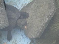 【写真】クサガメのクロちゃんが水中で乾燥エビを食べているところ