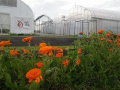 【写真】農園前の通学路に咲いているキンセンカの花々