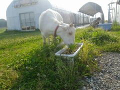 【写真】受付ハウス前のプランターに植えられているパンジーを食べるアラン