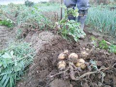 【写真】三郎畑のじゃがいもを掘り起こしたところ