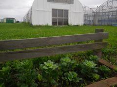 【写真】受付ハウス前の花壇に植えたアスターの苗