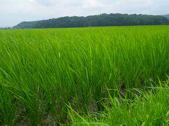 【写真】農園前の田んぼで青い稲の苗が風にそよいでいる様子