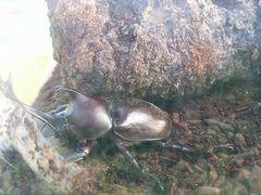 【写真】君津産まれの幼虫から育てたカブト虫(オス)