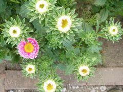 【写真】受付ハウス前の花壇に咲いたアスターを真上から見た様子