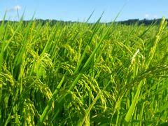 【写真】農園前の田んぼでまだ青い稲穂が垂れている様子
