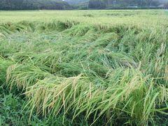 【写真】台風の強風で稲が倒れてしまった田んぼの様子