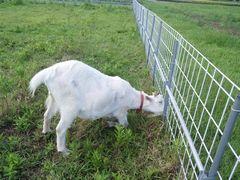 【写真】アラン・フィールドの柵の外に生えている雑草を食べようとしゃがみこむアラン
