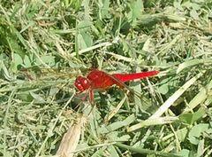 【写真】農園敷地内に飛んできた全身が真っ赤なとんぼ