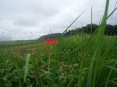 【写真】農園近くの田んぼの畦道に咲いた一輪の彼岸花
