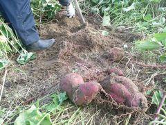 【写真】三郎さんが鍬で掘ってくれた紅あずま(さつまいも)