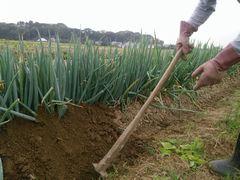 【写真】三郎さんがネギを土でくるんでいるところ