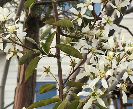 s818-1ジューンベリーの花