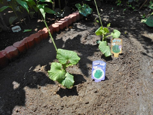 160618cucumbers
