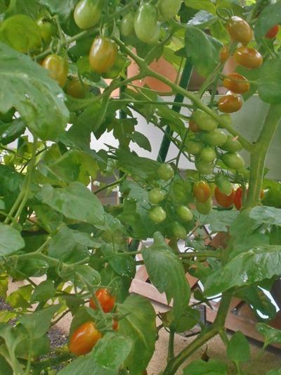 160625mini_tomato3