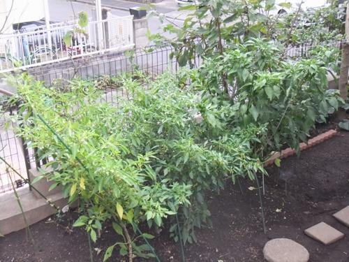 161013green_pepper
