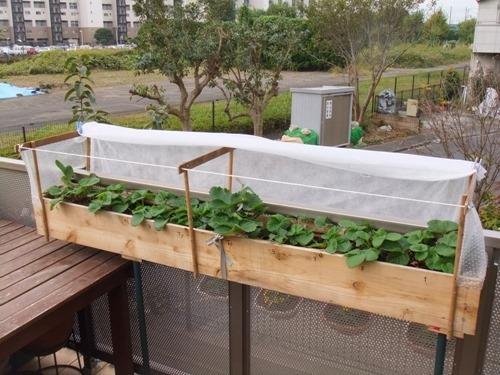 161108strawberry_planter