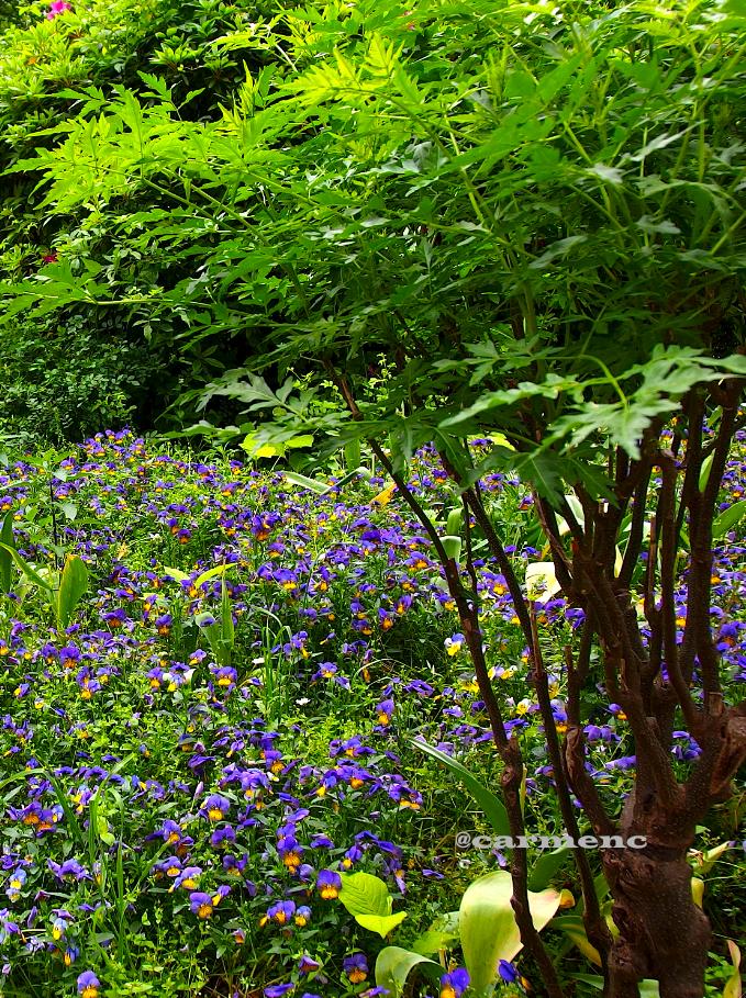 花壇紫パンジー