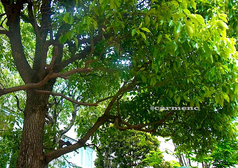 マンション庭の樹