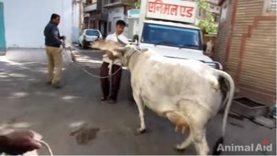 牛の赤ちゃん03