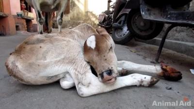 牛の赤ちゃん05