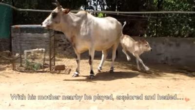 牛の赤ちゃん07