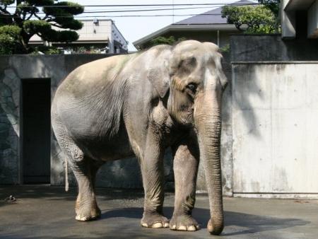 Elephas_maximus_bengalensis_hanako.jpg