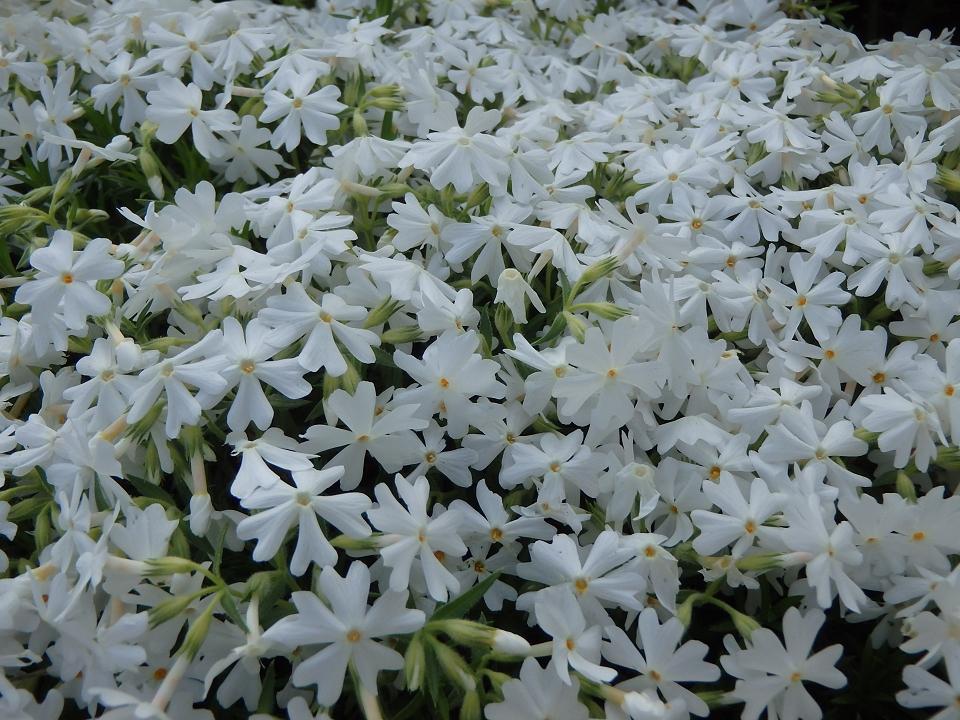 2016白い花0001