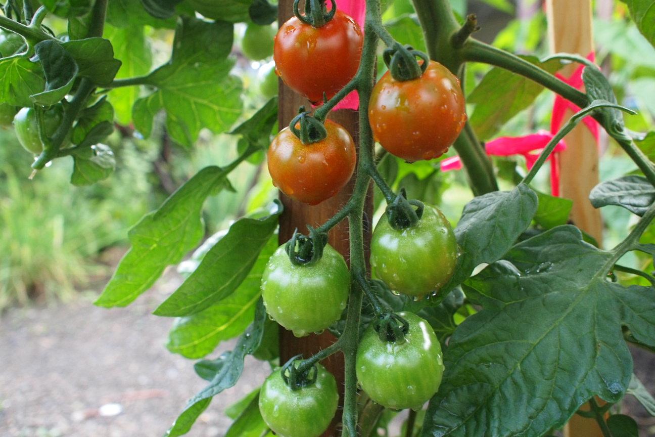 赤くなってきたトマト01