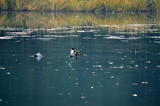 DSC_7746水鳥