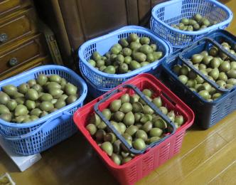 キウイ、レインボーレッド収穫物